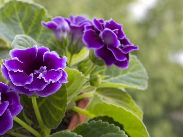 African violets in pot